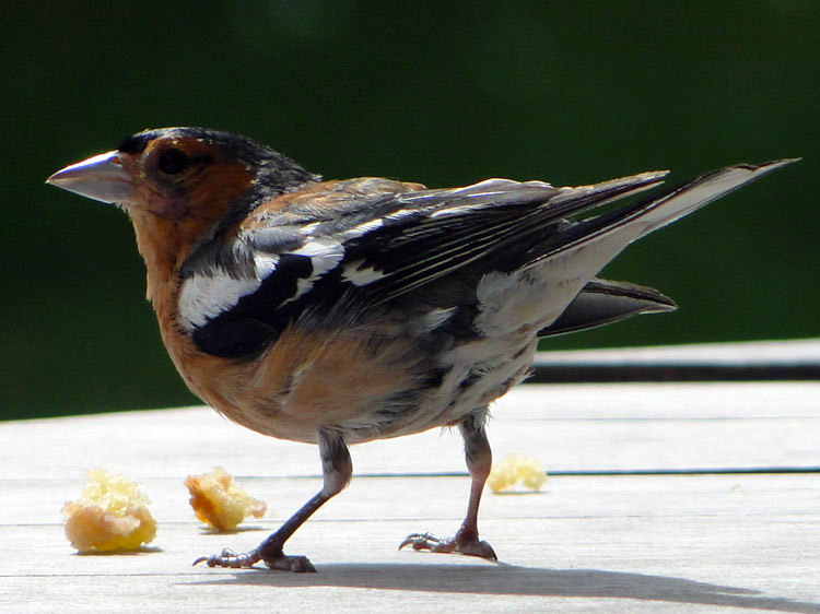 A Chaffinch at Glengorm Castle enjoys a treat