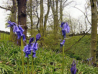 Bluebells in Gill Beck Wood