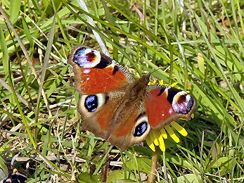 A beautiful Peacock Butterfly, harbinger of Spring
